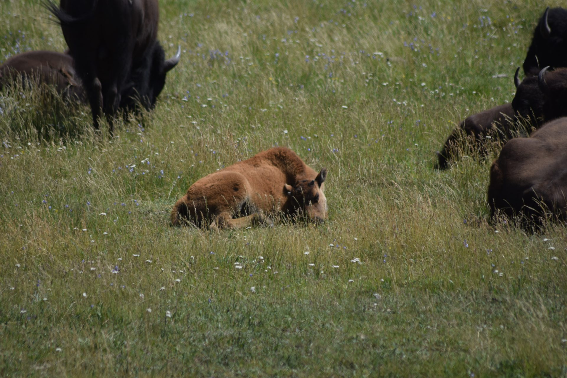 Bison calf laying in grassy field with wildflowers