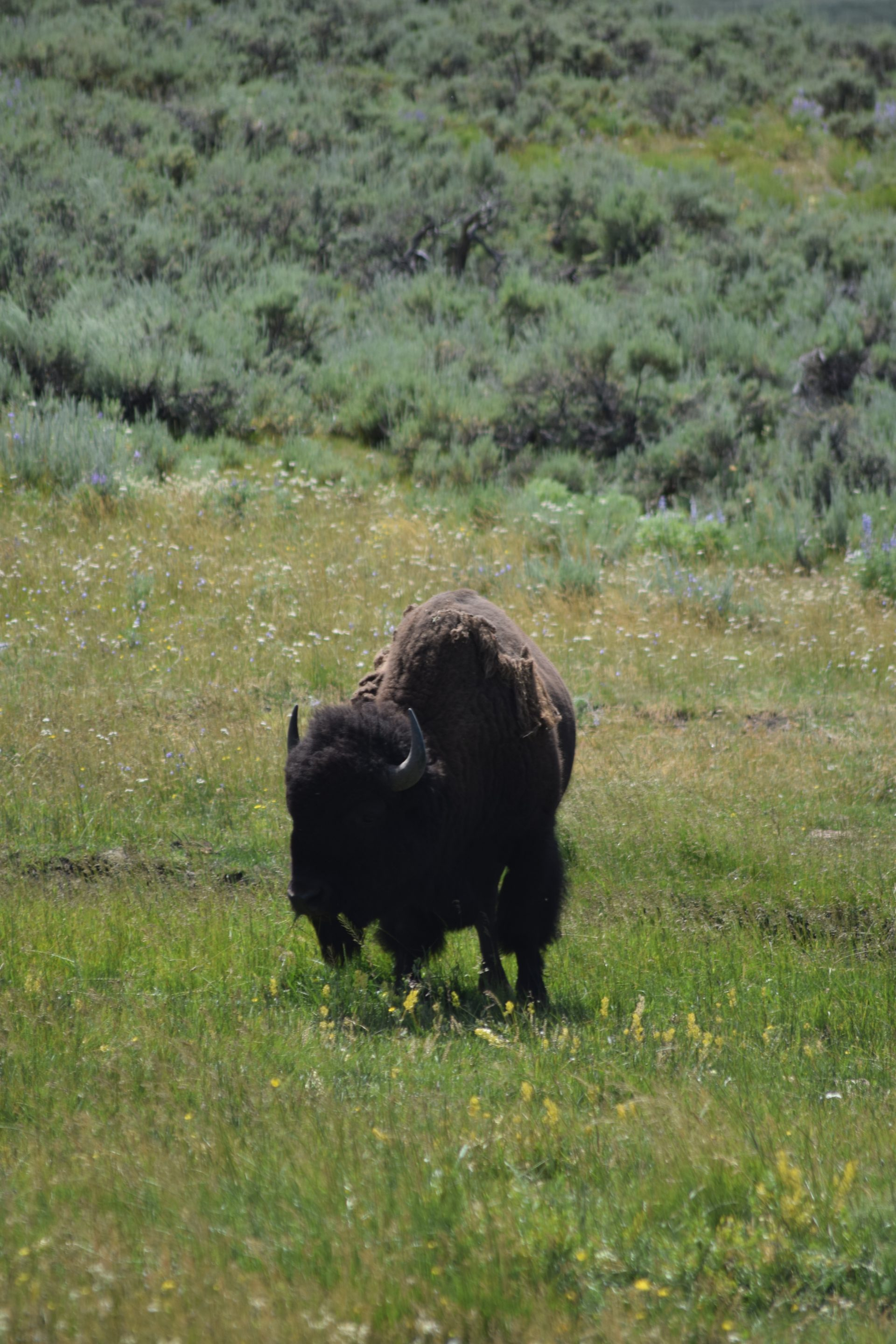 bison and sagebrush