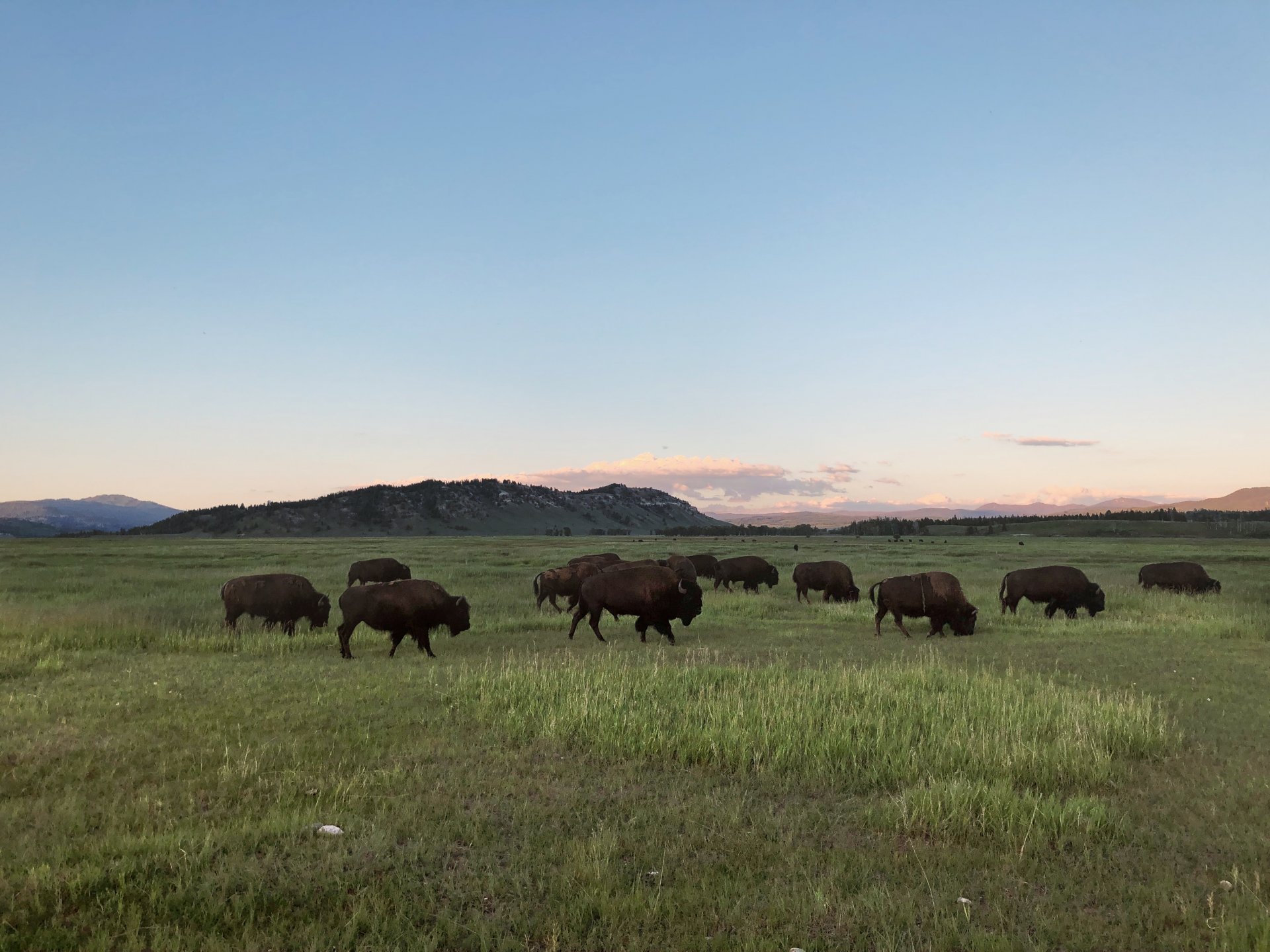 11 bison in a grassy field during sunset