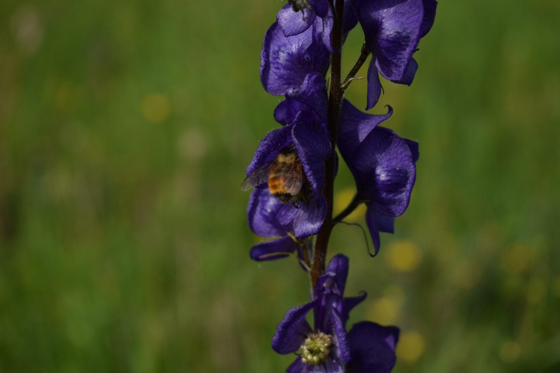 bumblebee butt sticking out of a purple flower