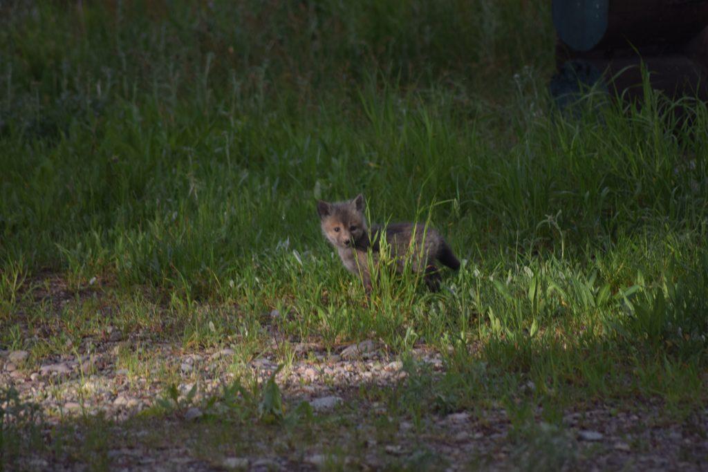 Fox kit in tall grass