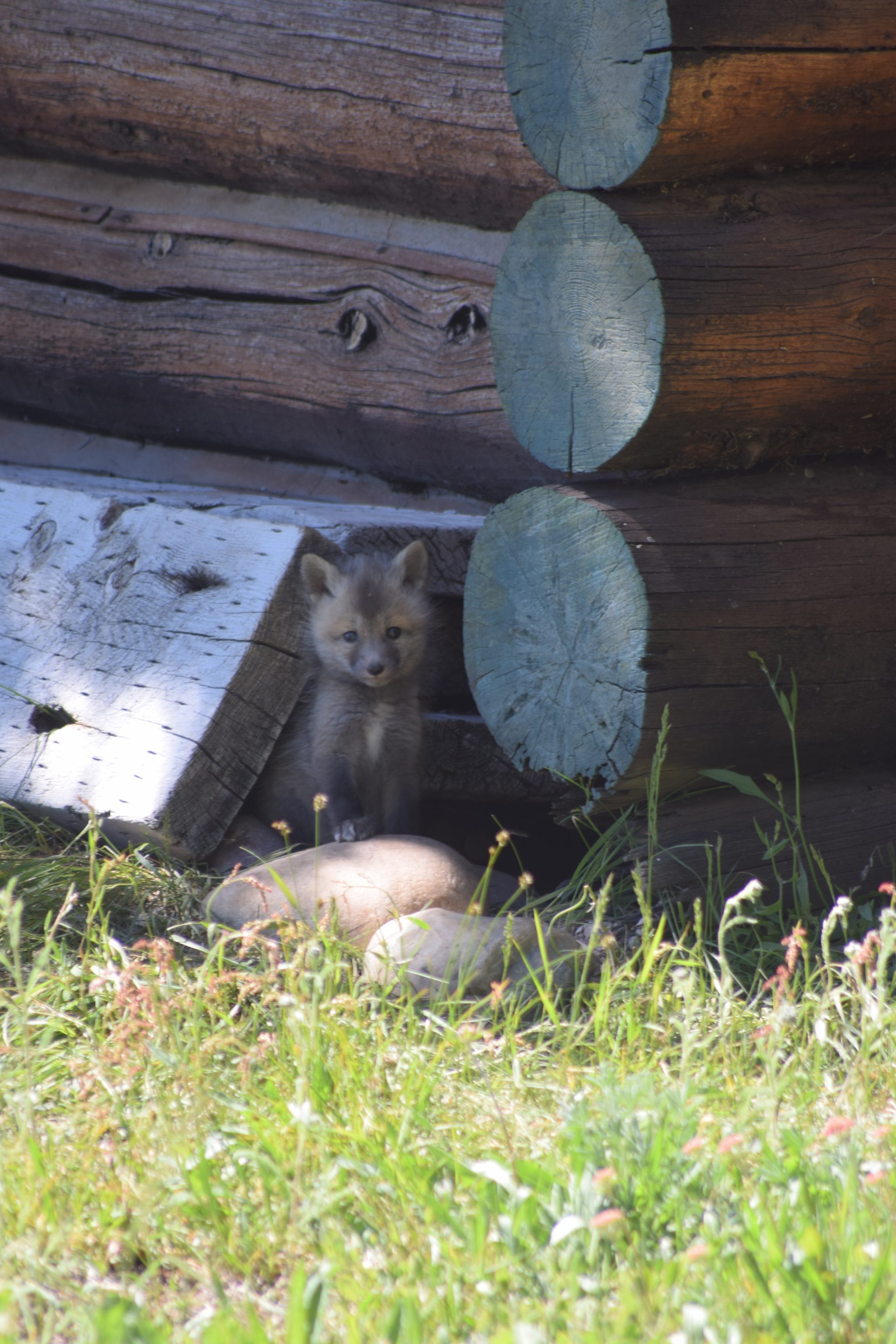 fox kit and log building