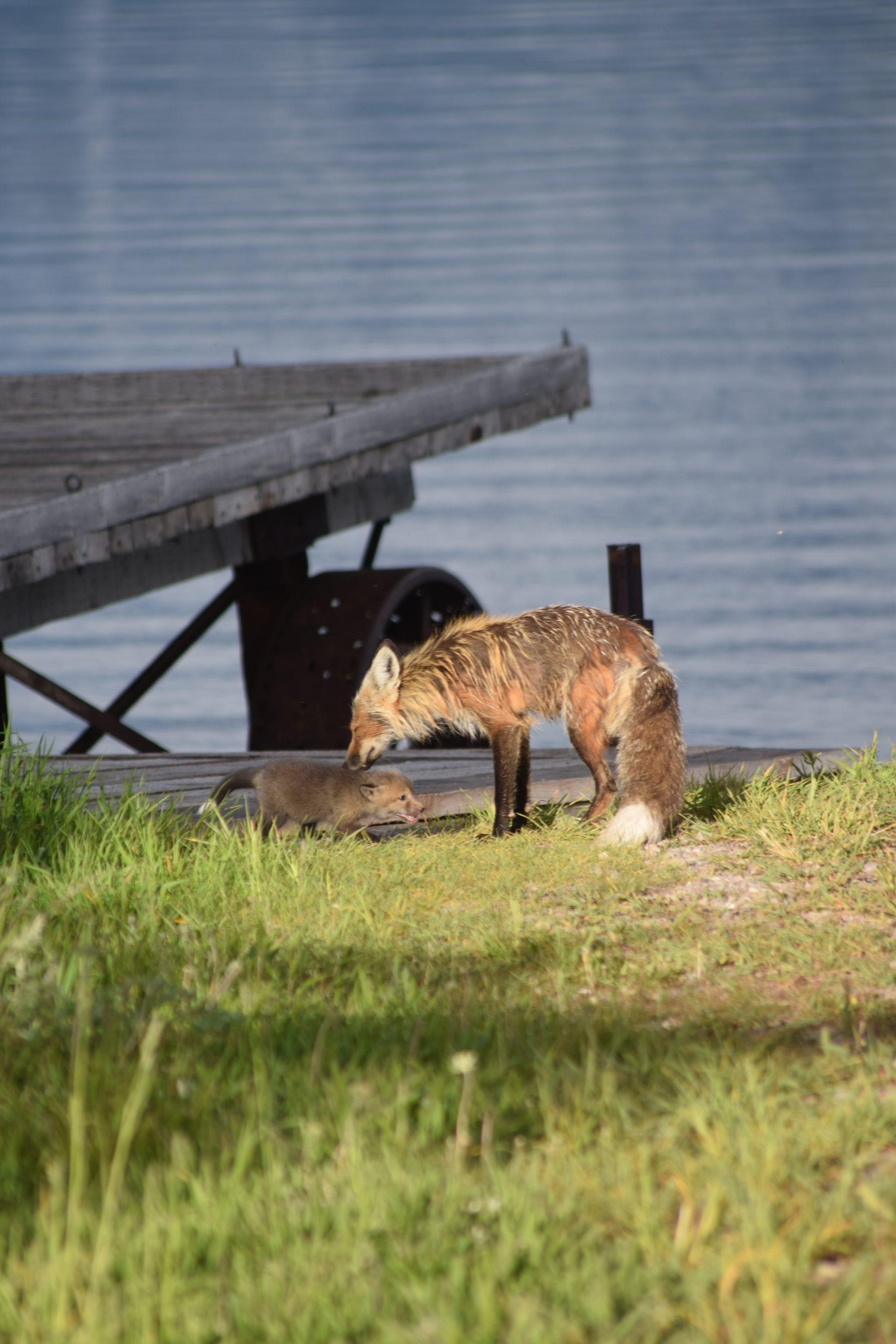 Adult fox and kit, grass, dock, lake behind
