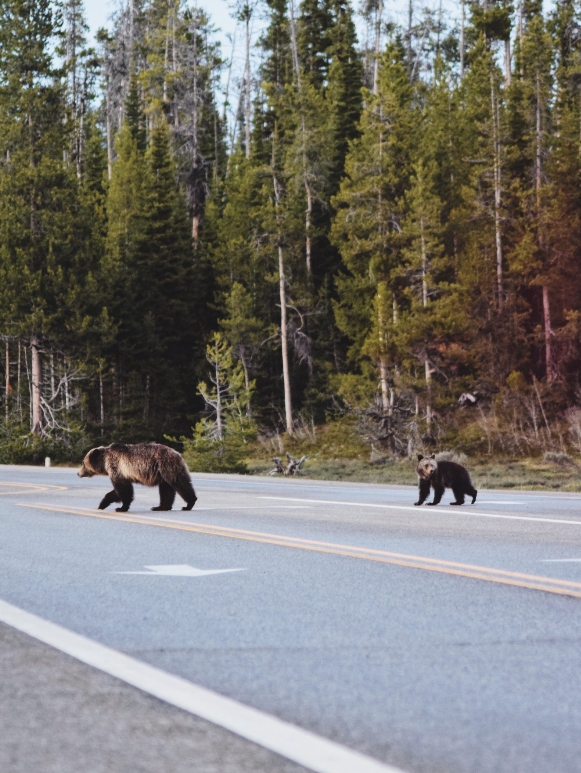 A bear and her cub crossing the highway in a pine forest