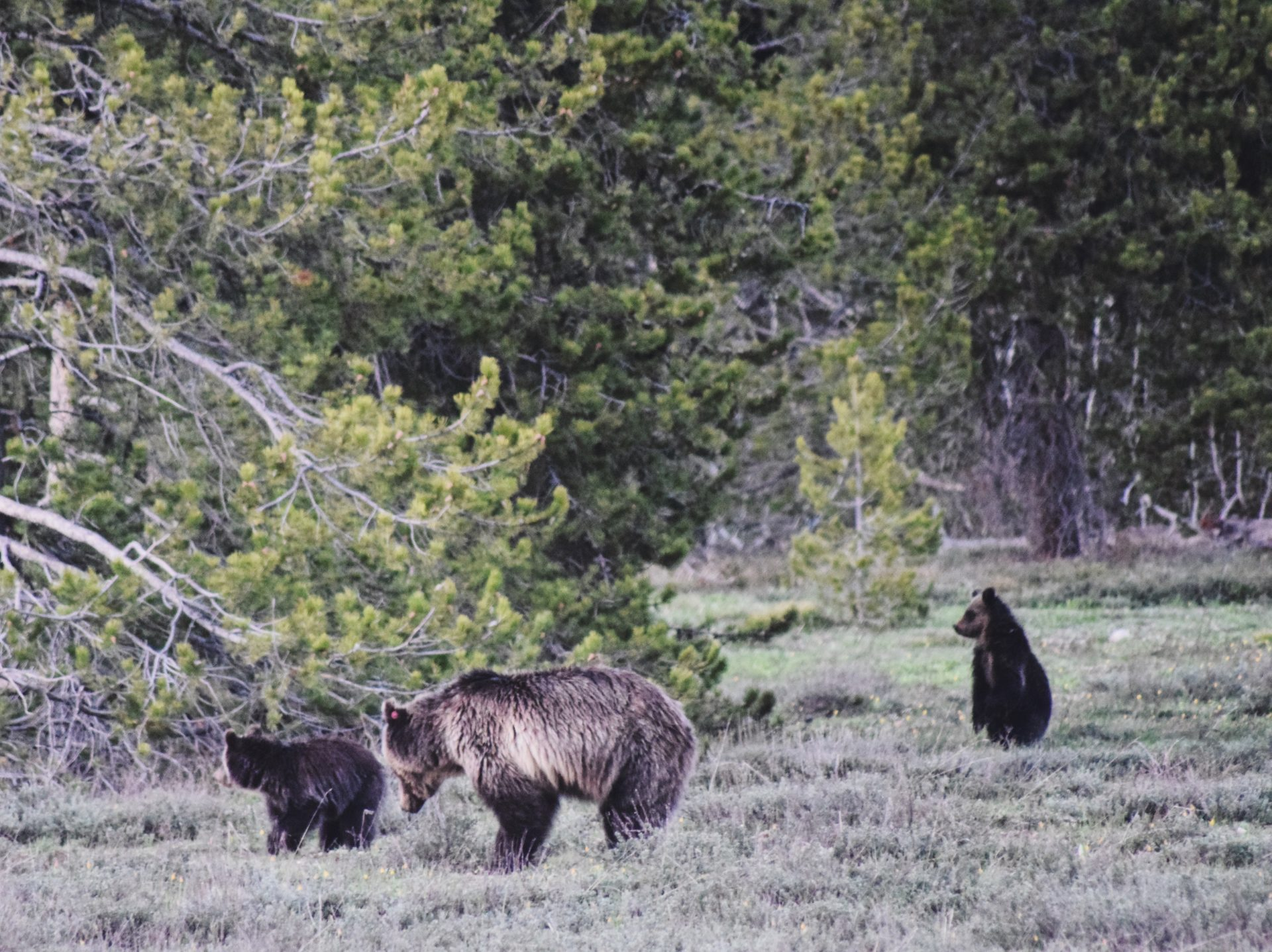 A mama bear and her two cubs in a sagebrush outcropping next to pine trees