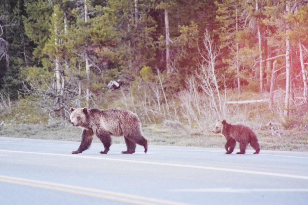 A mama bear and her cub crossing a highway in the forest