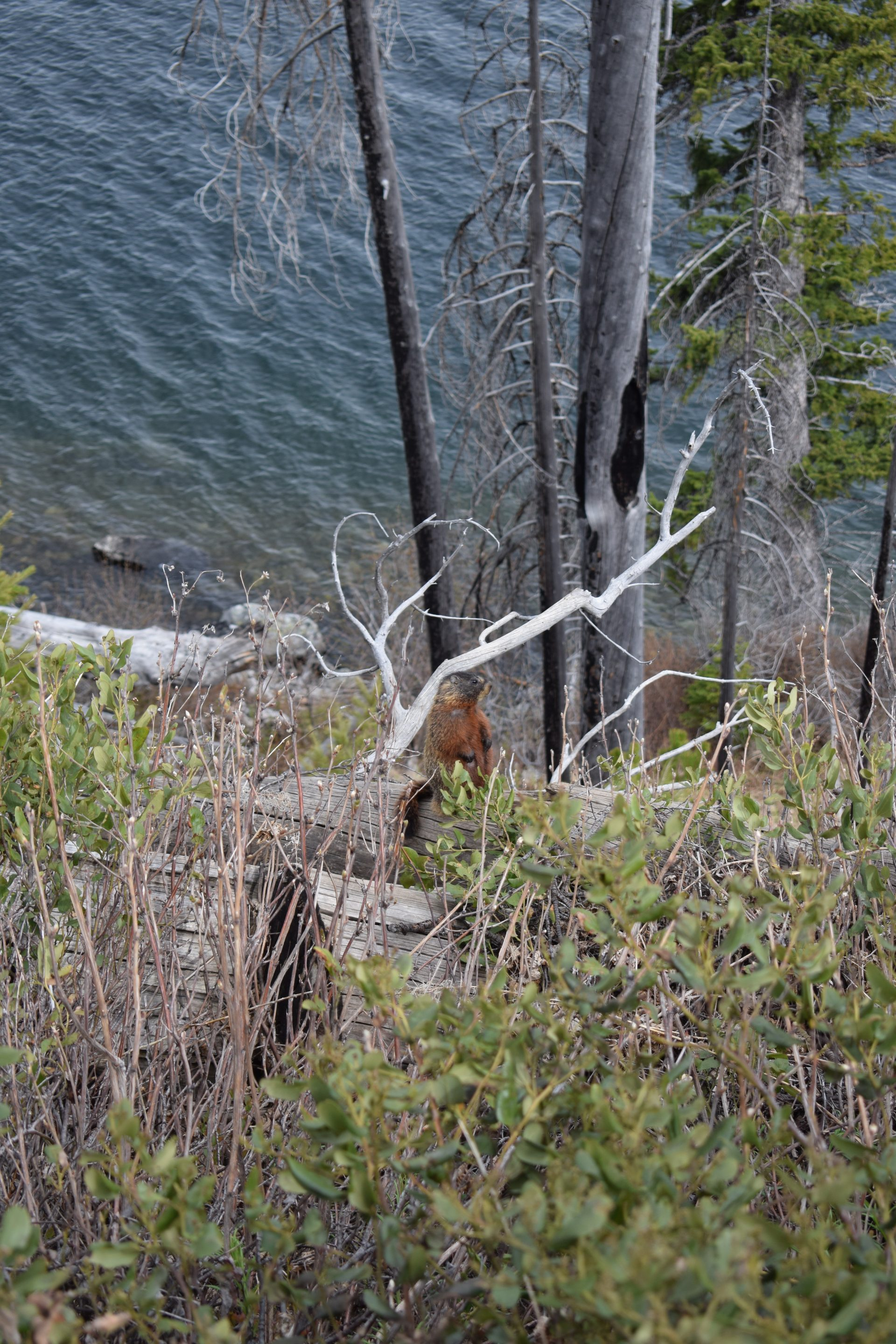 A marmot that is difficult to see in the underbrush next to a shoreline and trees