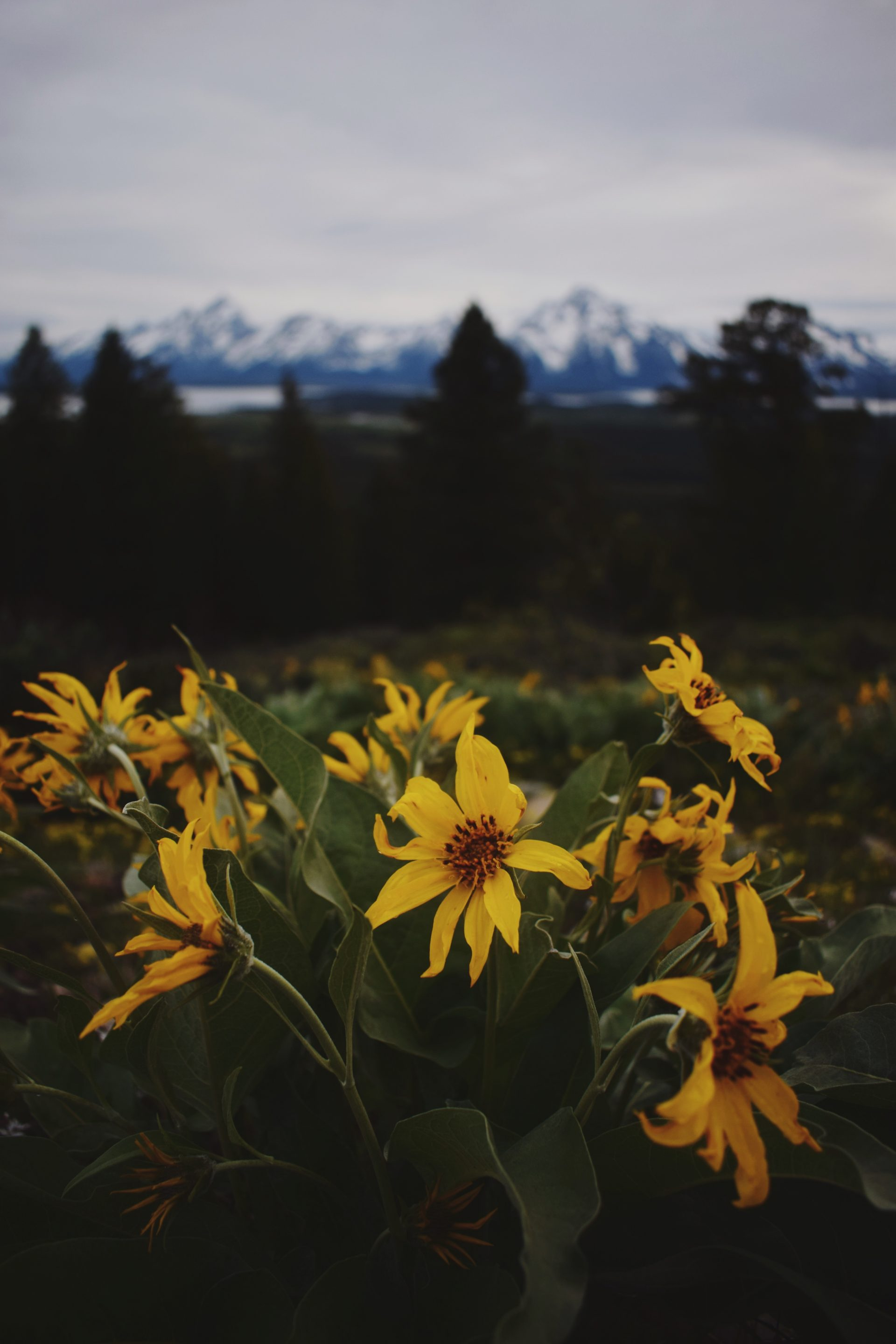 yellow flowers with blurry mountains in the background