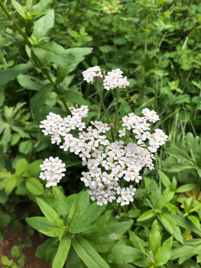 small white flowers and green leaves
