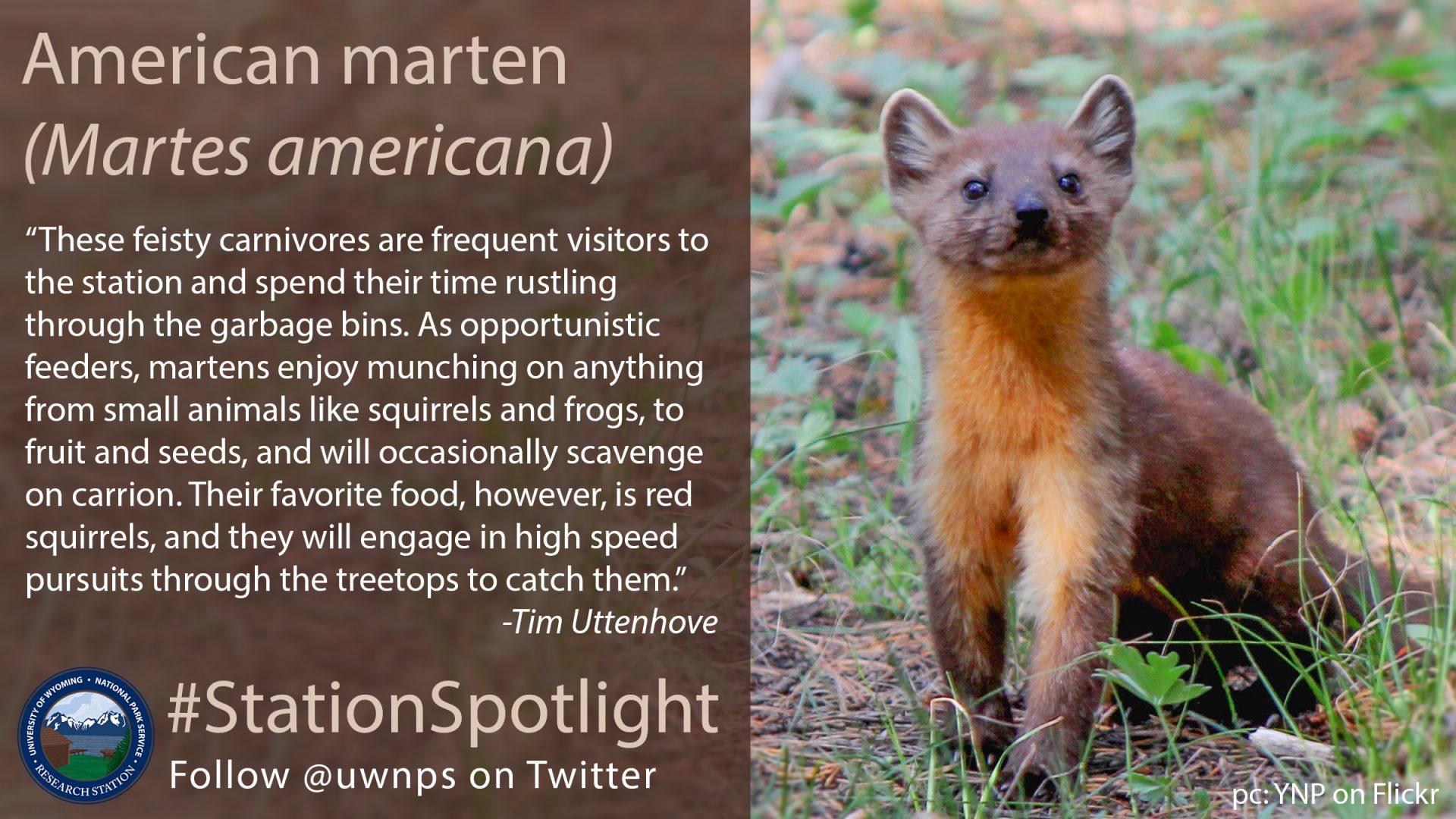 Pine marten looks up, curious