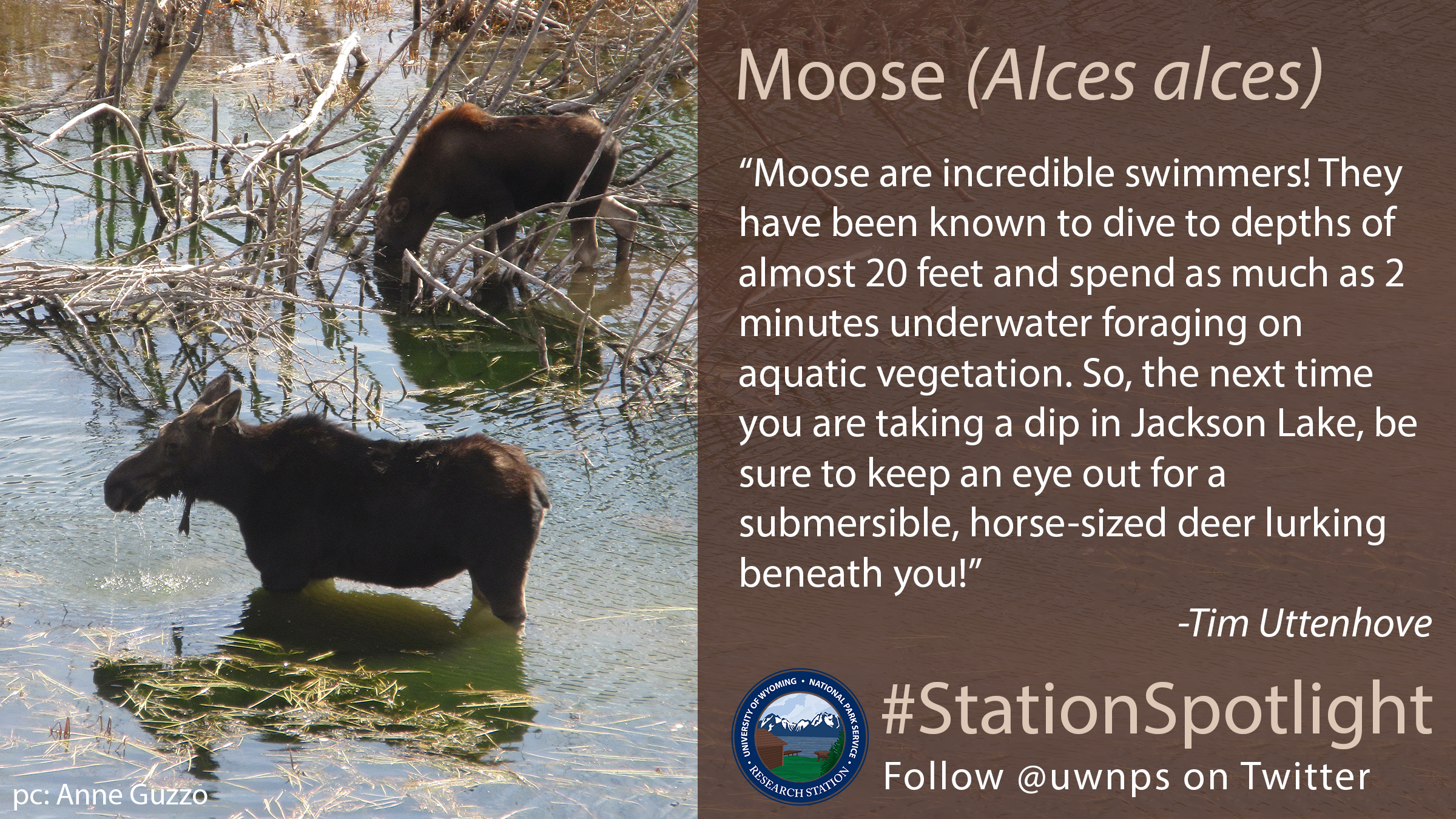 two moose half submerged in a pond with woody plants around them