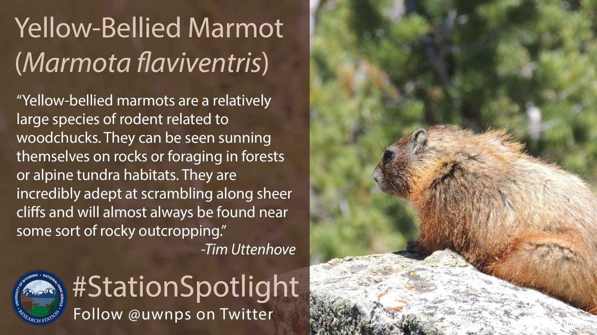Furry marmot sits on a rock, looking into the forest behind