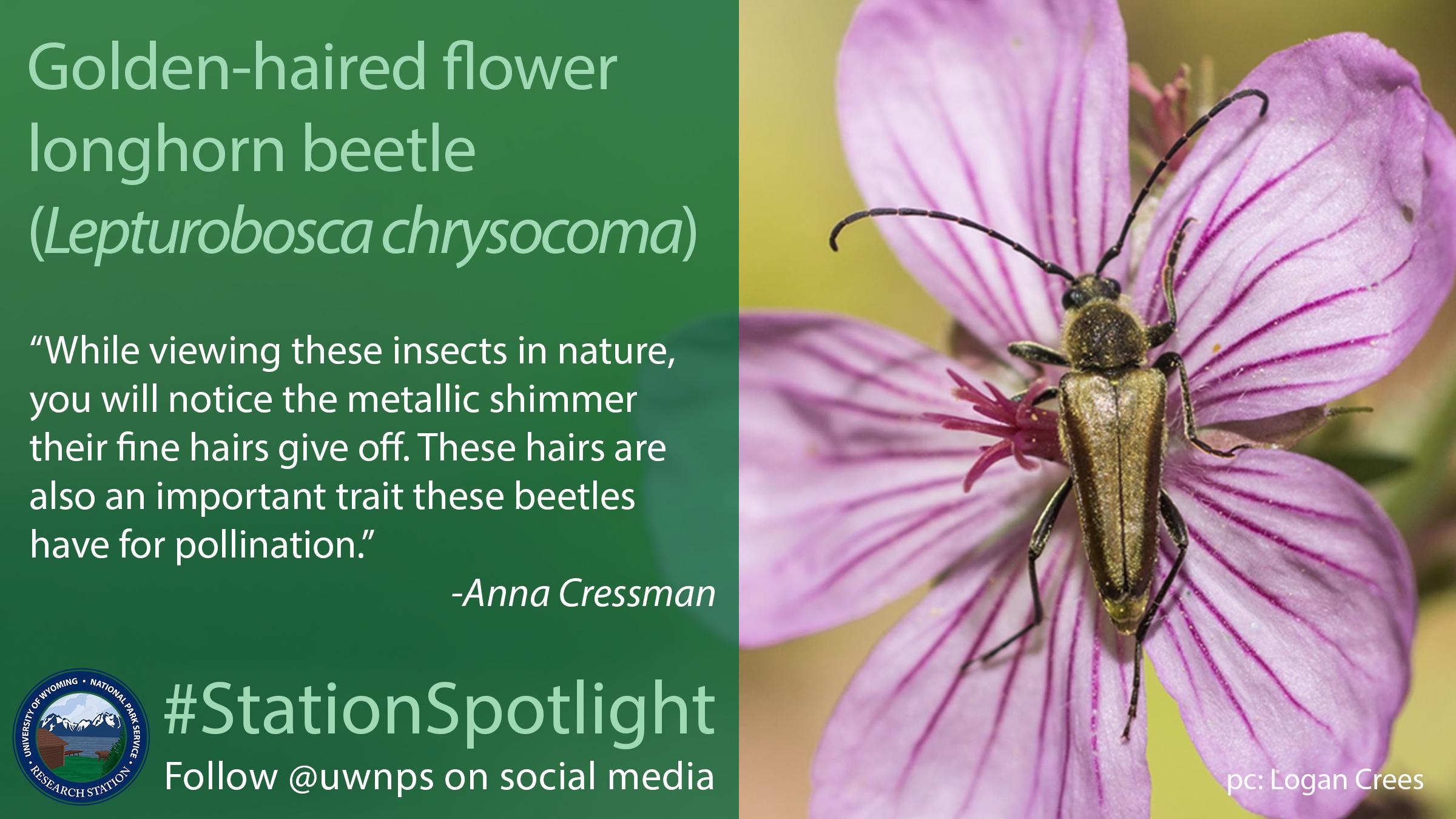 Small golden beetle crawls over a purple flower