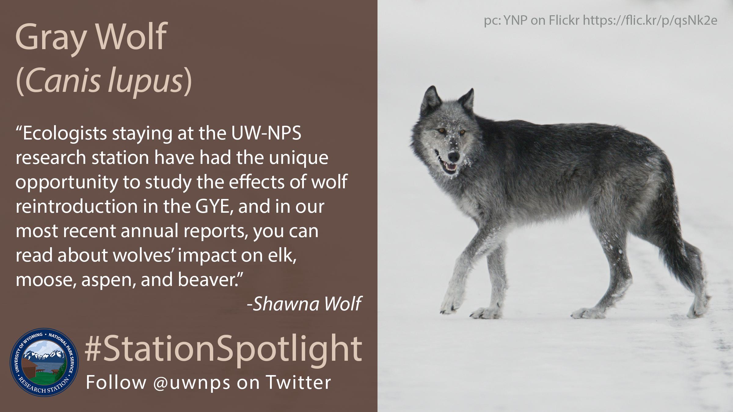 Dark grey wolf crossing a snowy road in GTNP